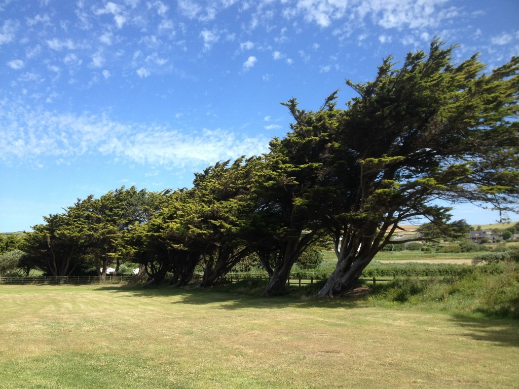 Croyde Bay is also home to some very strangely shaped trees